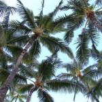 Les palmiers produisent de l'électricité